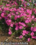 Petunia × hybrida ´Easy Wave Pink´