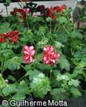 Pelargonium peltatum ´Stars And Stripes´