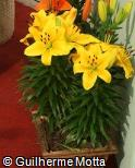 Lilium pumilum ´Golden Joy´