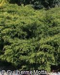 Thuja occidentalis ´Froebelli´