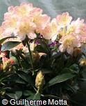 Rhododendron × hybridum ´Percy wiseman´