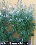 Hibiscus syriacus ´Oiseau Bleu´