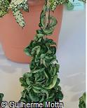 Hoya carnosa ´Krinkle Kurl´