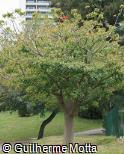 Erythrina sykesii
