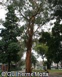 Eucalyptus grandis