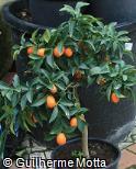 Citrus japonica