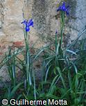 Iris x hollandica ´Blue magic´