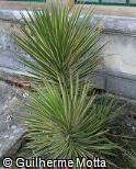 Yucca aloifolia ´Variegata´