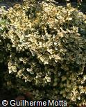 Euonymus hederaceus ´Emerald´n Gold´