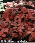 Fittonia albivenis ´Forest Flame´