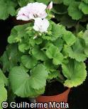 Pelargonium grandiflorum ´Mona´