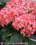 Hydrangea macrophylla ´Miss Belgium´