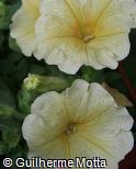 Petunia × hybrida ´Ray Sunray´