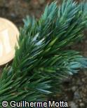 Juniperus squamata ´Meyeri´