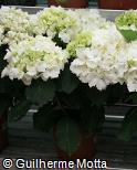 Hydrangea macrophylla ´Schneeball´