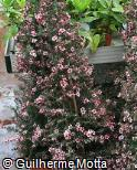 Leptospermum scoparium ´Martinii´