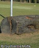 Tronco de madeira bruta