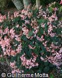 Begonia bowerae ´Nigramarca´