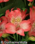 Alstroemeria  ´Konovatio´