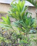 Cordyline fruticosa ´Turkey Tall´