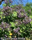 Ligustrum japonicum