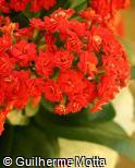 Kalanchoe blossfeldiana ´Hayworth´