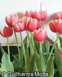 Tulipa  ´Show Winner´