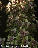 Ocimum basilicum ´Purpurascens´