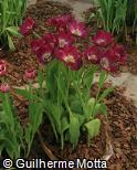 Tulipa gesneriana ´Negrita´