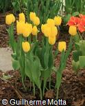 Tulipa gesneriana ´Strong Gold´