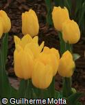 Tulipa gesneriana ´Strong Gold´