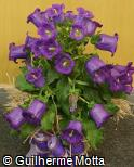 Campanula medium ´Champion Blue´