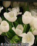 Tulipa  ´White Dream´