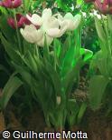Tulipa  ´White Dream´