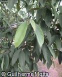 Rollinia salicifolia