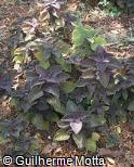 Plectranthus scutellarioides ´Burgundy Giant´
