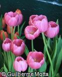 Tulipa gesneriana ´Purple Prince´