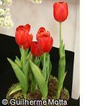 Tulipa  ´Ile de France´