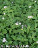 Richardia grandiflora