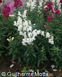 Antirrhinum majus ´Liberty White´