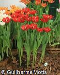 Tulipa  ´Prominence´