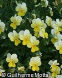 Viola cornuta ´Lemon Chiffon´