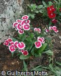 Dianthus chinensis ´Floral Lace Picotee´