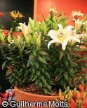 Lilium speciosum ´Crystal Eye´
