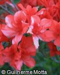 Rhododendron simsii ´Frank Arsen´