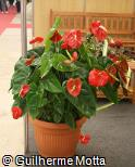 Anthurium andraeanum ´Tropic Fire´
