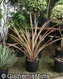 Ananas bracteatus ´Tricolor´
