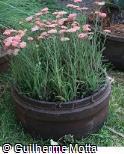 Achillea millefolium ´Delight Apricot´