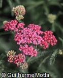 Achillea millefolium ´Cerise Queen´