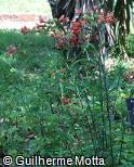 Alstroemeria pulchella